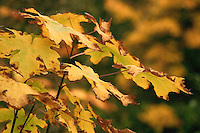 Golden leaves near the Puntledge River, Vancouver Island