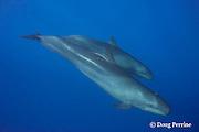 pseudorca, or false killer whales, Pseudorca crassidens, mother and calf, from endangered insular Hawaiian population, off the Kona Coast of Hawaii Island, Hawaiian Islands, U.S.A. ( Central Pacific Ocean )