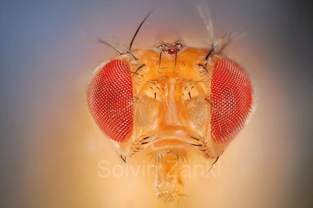 [Digital focus stacking] Wild Fruit Fly (Drosophila melanogaster) | Um die Taufliege (Drosophila melanogaster) zu sehen, muss man nicht nach Wien ins Labor fahren - hat man im Sommer eine überreife Banane oder Ähnliches in der Küche, ist sie, unter dem Namen Fruchtfliege bekannt, stets zur Stelle, um Nahrhaftes mit ihrem ausklappbaren Leckrüssel aufzunehmen. Aber wer würde, während er fluchend die Plage bekämpft, eine solche Schönheit und Perfektion im Detail vermuten...  wild lebendes Exemplar (keine Laborfliege)