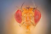 Fruit flies | Fruchtfliegen