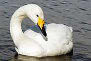 Whooper swan, Cygnus cygnus, swimming, floating in water, lake Kussharo-ko, Hokkaido Island, Japan, japanese, Asian, wilderness, wild, untamed, ornithology, snow, graceful, majestic, aquatic.
