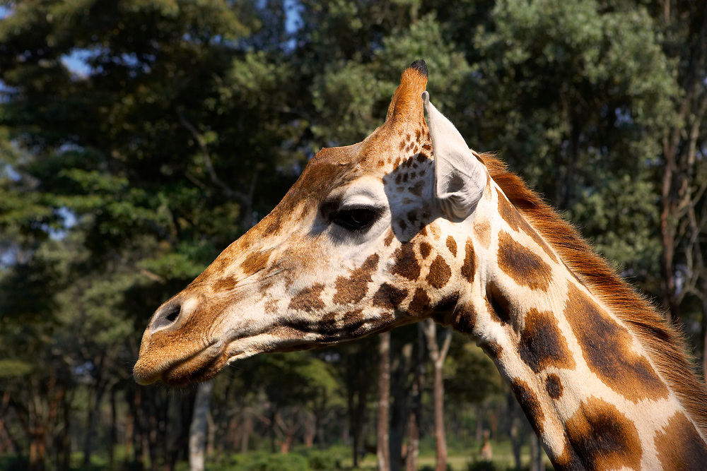 Close up profile of giraffe's head with a forest in the background