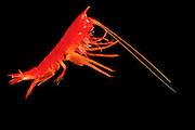 Der Flohkrebs (Cyphocaris richardi) hat eine perfekte Tarnfarbe: rotes Licht wird vom Wasser schon bei geringen Tiefen herausgefiltert und dringt nicht in die Schichten vor, in denen diese Krebse leben. Die Jäger der Tiefsee können rote Beutetiere nicht sehen.