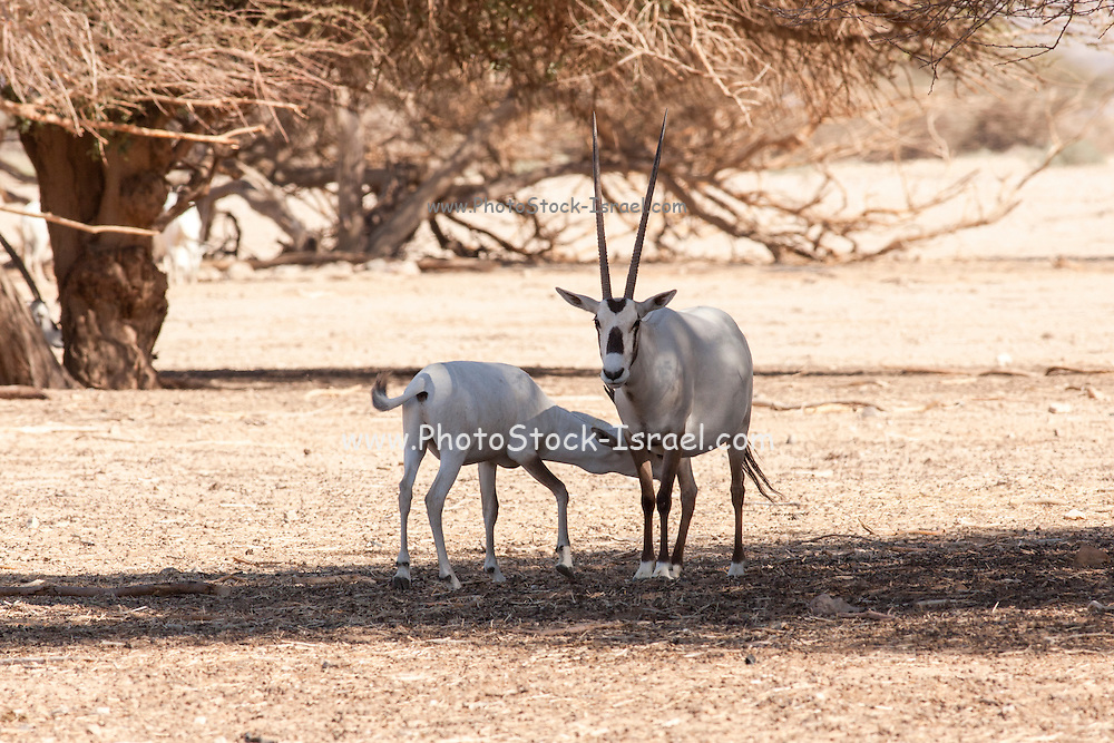 A Arabian Oryx (Oryx leucoryx). The Arabian oryx is a large white antelope, Almost totally extinct in the wild several groups have since been reintroduced to the wild. Photographed in Israel, Aravah desert