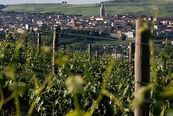 Rapolla (PZ) Ottobre 2010 - Vitigni di Aglianico del Vulture doc nella zona del Vulture. Nella Foto: I vitigni dell'Azienda Agrituristica Sant'Agata.