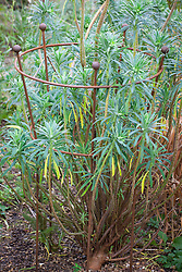 Plant support with euphorbia