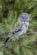 Great Gray Owl Contact