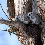 Pictured here is a pair of Japanese dwarf flying squirrels (Pteromys volans orii) shortly before mating. The female is in front. She has lifted her tail, letting the male check her status by smell. They mated one hour after this photo was taken. This perch is stained with urine, and there are feces visible. This is an indication that it is frequented by these and possibly other flying squirrels.