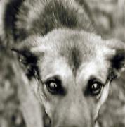 German Shepard dog, black and white