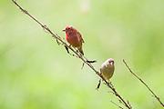 red-billed firefinch or Senegal firefinch (Lagonosticta senegala). Photographed in Tanzania