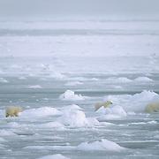 Polar bear mother and cubs. Canada