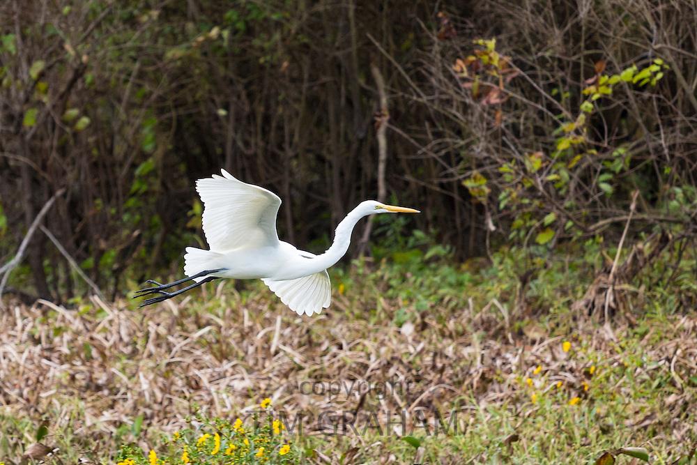 Great Egret bird, Ardea alba, soaring in flight in Atchafalaya Swamp National Wildlife Reserve, Louisiana USA