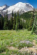 Subapline Daisy flowers in the forest near Sunrise at Mount Rainier National Park in Washington State, USA