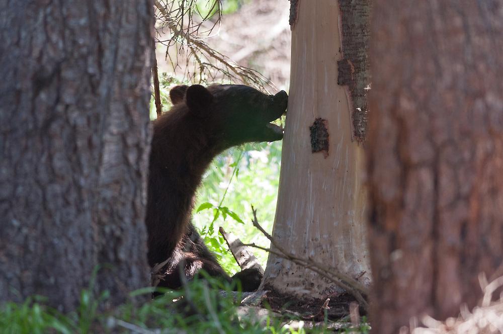 A young black bear (Ursus americanus) licking sap off a recently stripped sub-alpine fir.  Sunrise, Mount Rainier National Park.