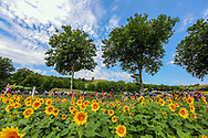 Illustration, Scenery, Sunflowers during the 105th Tour de France 2018, Stage 16, Carcassonne - Bagneres de Luchon (218 km) on July 24th, 2018 - Photo Kei Tsuji / BettiniPhoto / ProSportsImages / DPPI