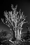 Aged Western white pine near Carson Pass in the California Sierra.  2004