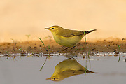 Willow Warbler (Phylloscopus trochilus) near the water, negev desert, israel