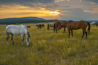 Horses graze on a Montana Ranch as crepuscular rays shine in the background.