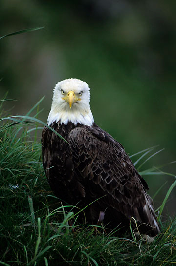 Bald Eagle, (Haliaeetus leucocephalus) Portrait of adult. Adak Island. Aleutian Islands. Alaska.