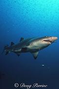 sand tiger shark, Carcharias taurus, and bait fish, wreck of the Caribsea, North Carolina, USA ( Western Atlantic Ocean )