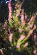 Blooming Common heather (Calluna vulgaris), Kurzeme Seacoast, Latvia Ⓒ Davis Ulands | davisulands.com