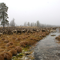 Hirvas Salmi, FINLAND.  Herds of reindeer cross a brook.   On the third day of this 10 day roundup event it is critical to tabulate exactly how many reindeer there are to corral.  Reindeer graze while herdsman assess numbers with binoculars.
