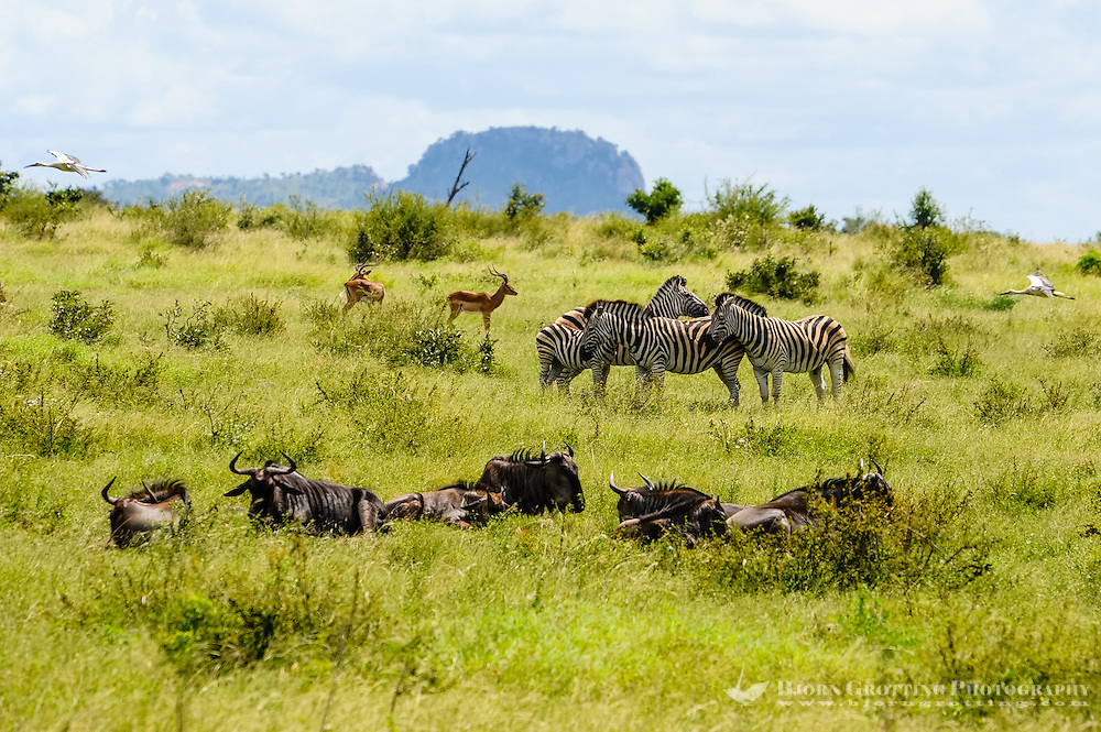 Stork, Impala, Blue Wildebeest and Plains Zebra. Kruger National Park, the largest game reserve in South Africa.