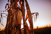 Corn stalk and sunset on an Iowa farm.<br />