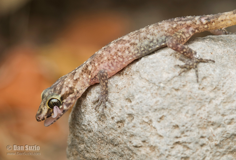 Timor bent-toed gecko, a previously undescribed species of the genus Cyrtodactylus, using its tongue to clean its eye.  Atauro Island, Timor-Leste (East Timor).