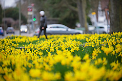 © Licensed to London News Pictures 25/02/2021.        Bromley, UK. Bright yellow daffodils blooming in Bromley, South East London today with the warmer weather set to continue into the weekend in London and the South East. Photo credit:Grant Falvey/LNP