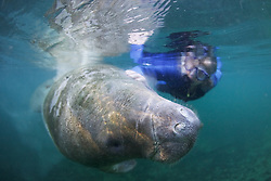 Manatee With Judith Rhome At Three Sisters Spring