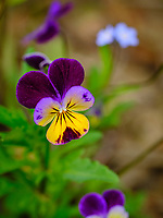Johnny Jump Up flower.  Image taken with a Fuji X-H1 camera and 200 mm f/2 OIS lens + 1.4x teleconverter (ISO 200, 280 mm, f/4, 1/450 sec).
