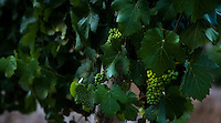 Young Malbec grapes hang on a vine at Finca La Heredad in the Luján de Cuyo area of Mendoza, Argentina. The  farm's vines surround the boutique hotel Club Tapiz.