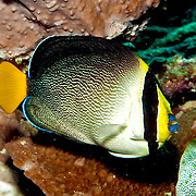 Vermiculated Angelfish are solitary or pairs in coral rich areas of inshore reefs. Picture taken Lembeh Straits, Sulawesi, Indonesia.