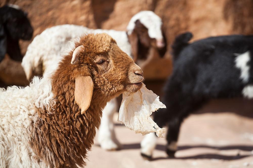 A sheep chews on a plastic bag at a remote Bedouin encampment in Wadi Rum, Jordan.