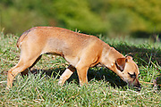 Jack Russell cross Patterdale terrier puppy sniffing at the grass, England, United Kingdom