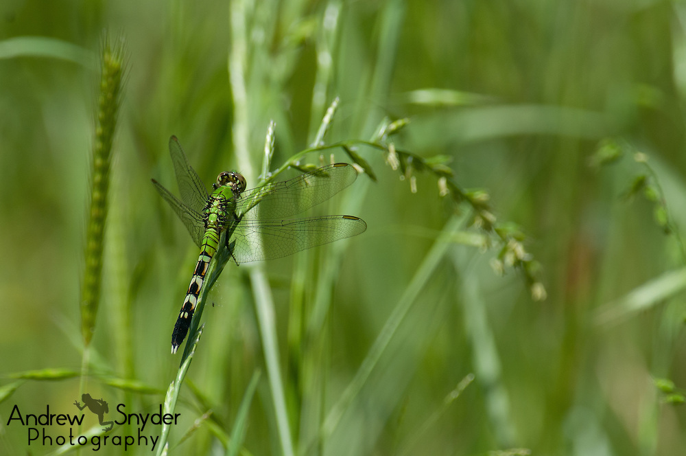 A green darner (Anax junius) sits on some grass - Water Valley, Mississippi