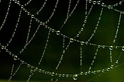 Orb Spider Web, with rain dew drops, early morning, UK