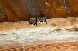 Eptesicus serotinus Laatvlieger en Grijze grootoor vleermuis Grijze grootoorvleermuis  Plecotus austriacus  Grey long-eared bat Le Oreillard gris, graues langohr
