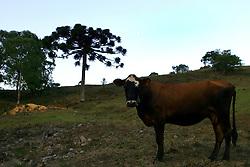Uma vaca é vista nos campos de cima da serra gaúcha. FOTO: Jefferson Bernardes/Preview.com