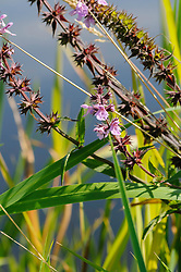 Moerasandoorn, Stachys palustris