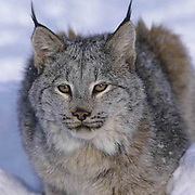Canada Lynx, (Lynx canadensis) Montana. Portrait.Winter. Captive Animal.