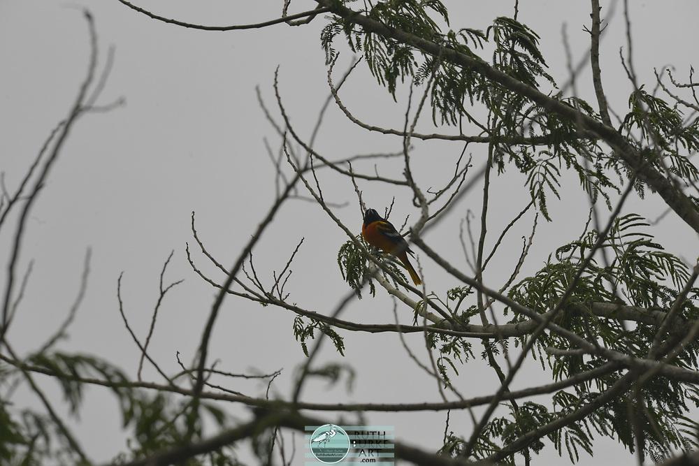 Rare birds of South Texas in Spring Baltimore oriole; male; lcterus galbula; oriole; orange; black; colorful bird; texas migration;