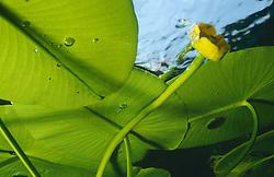 Nuphar lutea, Gelbe Teichrose, yellow Waterlily
