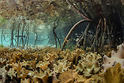 Leather coral (Sinularia sp) in mangroves<br /> Raja Ampat<br /> West Papua<br /> Indonesia