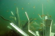 Juvenile Bluegill surrounding a Fish Hiding Structure.<br /> <br /> ENGBRETSON UNDERWATER PHOTO