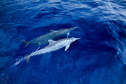 Long-snouted Spinner Dolphins, Stenella longirostris, note - rare white coloration, off Kona Coast, Big Island, Hawaii, Pacific Ocean