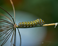 Caterpillar Eating My Dill. Image taken with a Fuji X-H1 camera and 80 mm f/2.8 macro lens