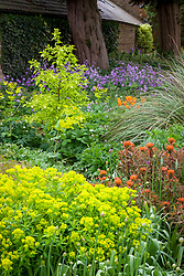 Euphorbia griffithii 'Fern Cottage' and Euphorbia palustris in the borders at Pettifers with honesty beyond