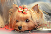 The Yorkshire Terrier is a small dog breed of terrier type, developed in the 19th century in the county of Yorkshire, England to catch rats in clothing mills. The defining features of the breed are its size, 3 pounds (1.4 kg) to 7 pounds (3.2 kg), and its silky blue and tan coat. The breed is nicknamed Yorkie and is placed in the Toy Terrier section of the Terrier Group